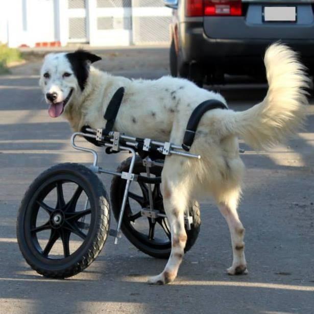 Panda, hoy, con su silla de ruedas