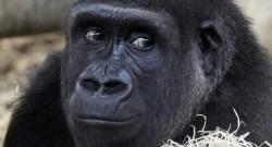 Los primates del mundo, al borde de la extinción
